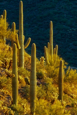 saguarosss
