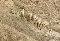 Big Horn Lambs72