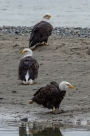 Haines, Alaska. Chilkoot River. Bald eagle preserve.