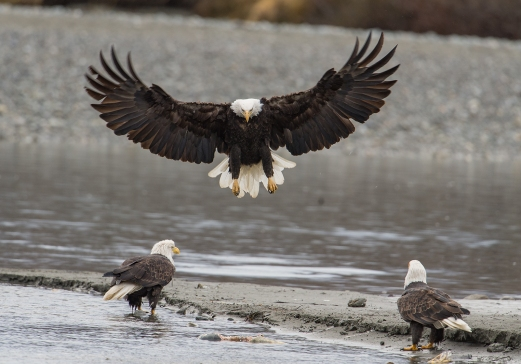 Haines, Alaska. Chilkoot River. Bald eagle preserve.Haines, Alaska. Chilkoot River. Bald eagle preserve.