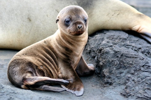 Sea Lion Puppy, Galapagos Islands