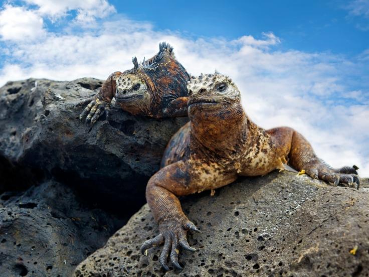 Portrait of two Marine Iguanas on Galapagos