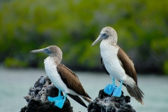 Blue Footed Boobies - Galapagos - Ecuador